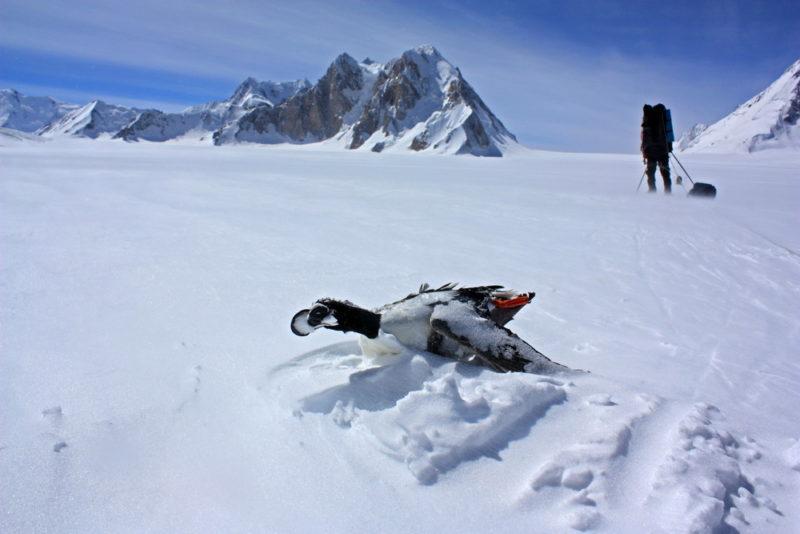 Утка на леднике Федченко