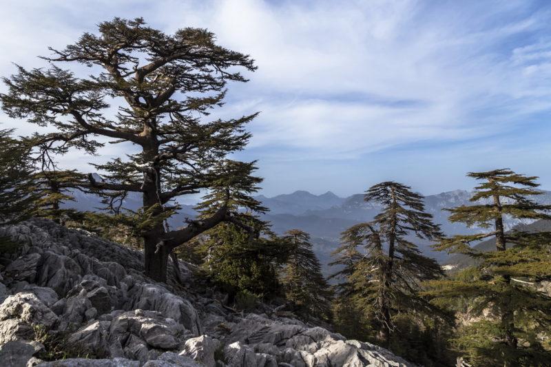 Ливанские кедры на Ликийской тропе